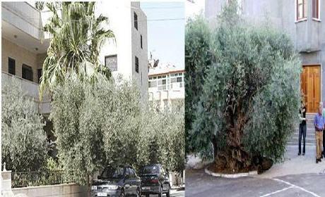 جدل سياسي بسبب أشجار الزيتون داخل المدار الحضري بوجدة