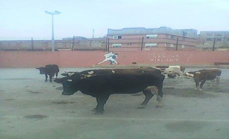مهزلة … هكذا تحولت دار الشباب سيدي سليمان شراعة إلى مرتع للأبقار