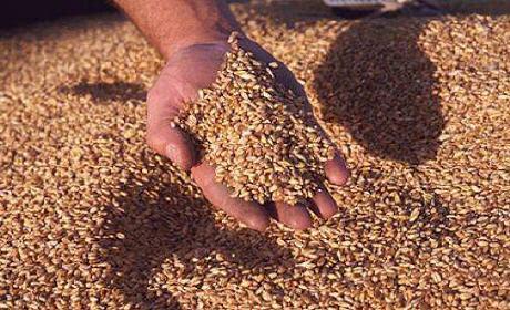 عزيز أخنوش يتوقع إنتاجا قياسيا من الحبوب يبلغ 110 مليون قنطار