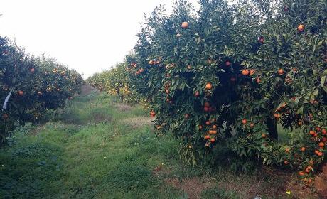 مع دخول موسم الليمون ببركان …… الهاجس الأمني يأرق بال سكانها