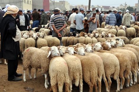 وزارة الفلاحة… العرض المتوفر من أضاحي العيد يقدر من بـ 8,1 مليون رأس