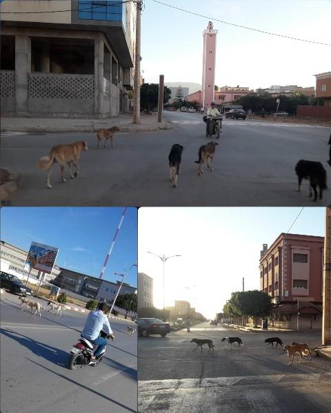 انتشار الكلاب الضالة بشوارع مدينة بركان يتحول إلى ظاهرة تقلق الساكنة وأصحاب الإدارات