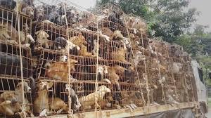 انطلاق مهرجان لحوم الكلاب المثير للجدل بالصين
