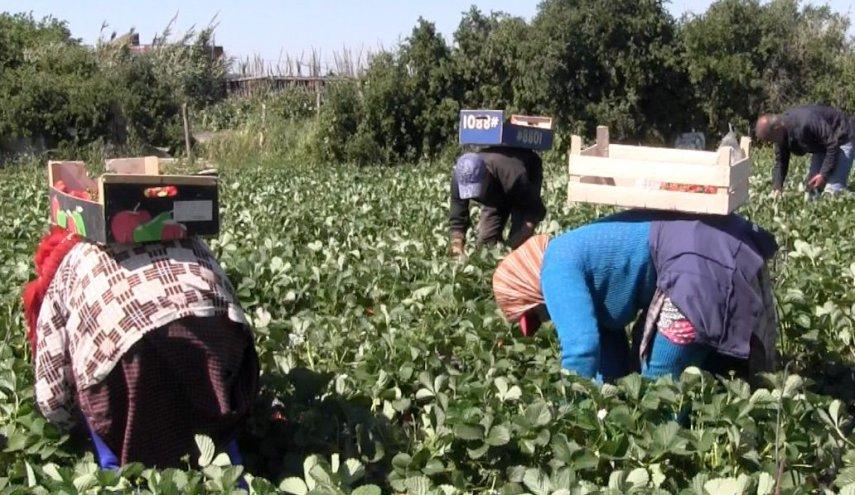المغرب يشرع في إعادة العاملات المغربيات اللواتي يشتغلن في حقول الفراولة بهويلفا