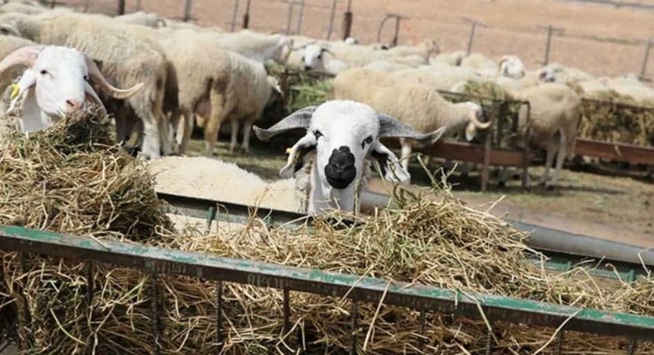 إجراءات احترازية صارمة باسواق بيع الماشية بالجهة الشرقية العرض متوفر وكافي للساكنة