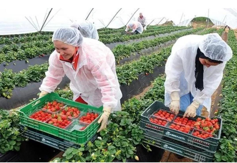 إعادة 7100 من العاملات المغربيات الموسميات من إقليم هويلبا