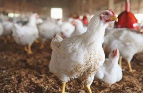استياء كبير في صفوف المواطنين بعد بالارتفاع المسجّل في أسعار لحوم الدجاج بالمغرب