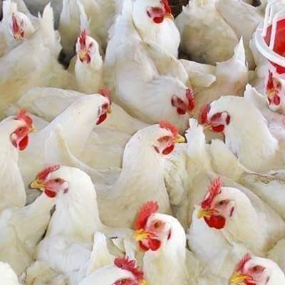 بسبب انتشاره في مجموعة من الدول الأوروبية..مربو الدجاج يحذرون من عودة إنفلونزا الطيور
