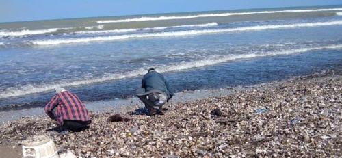 السعيدية .. أمواج البحر تلفظ كميات مهمة من المحارة الشاطئية الصغيرة أثارت استغراب البحارة