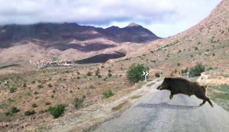 الخنزير البري يجتاح جماعة مشرع حمادي  ويهدد حياة السكان ويتلف مزروعاتهم والساكنة تستنجد